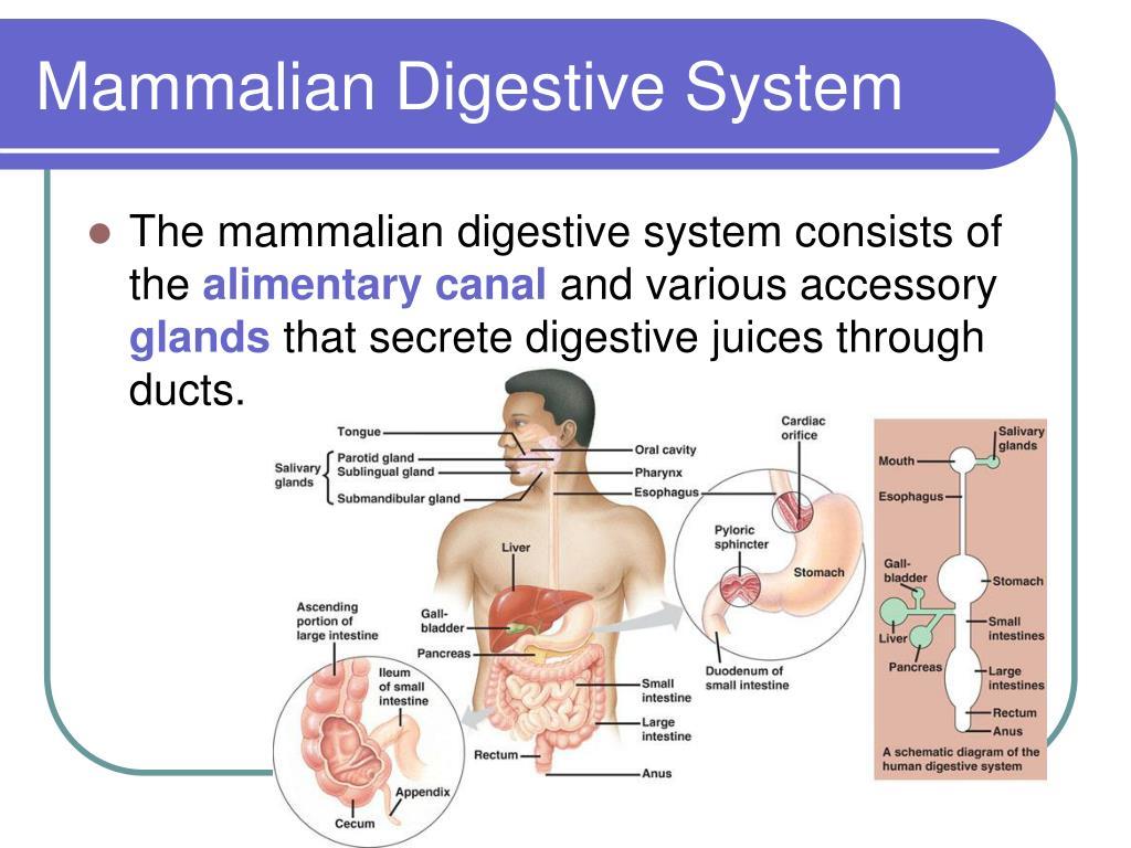 Mammalian Digestive System