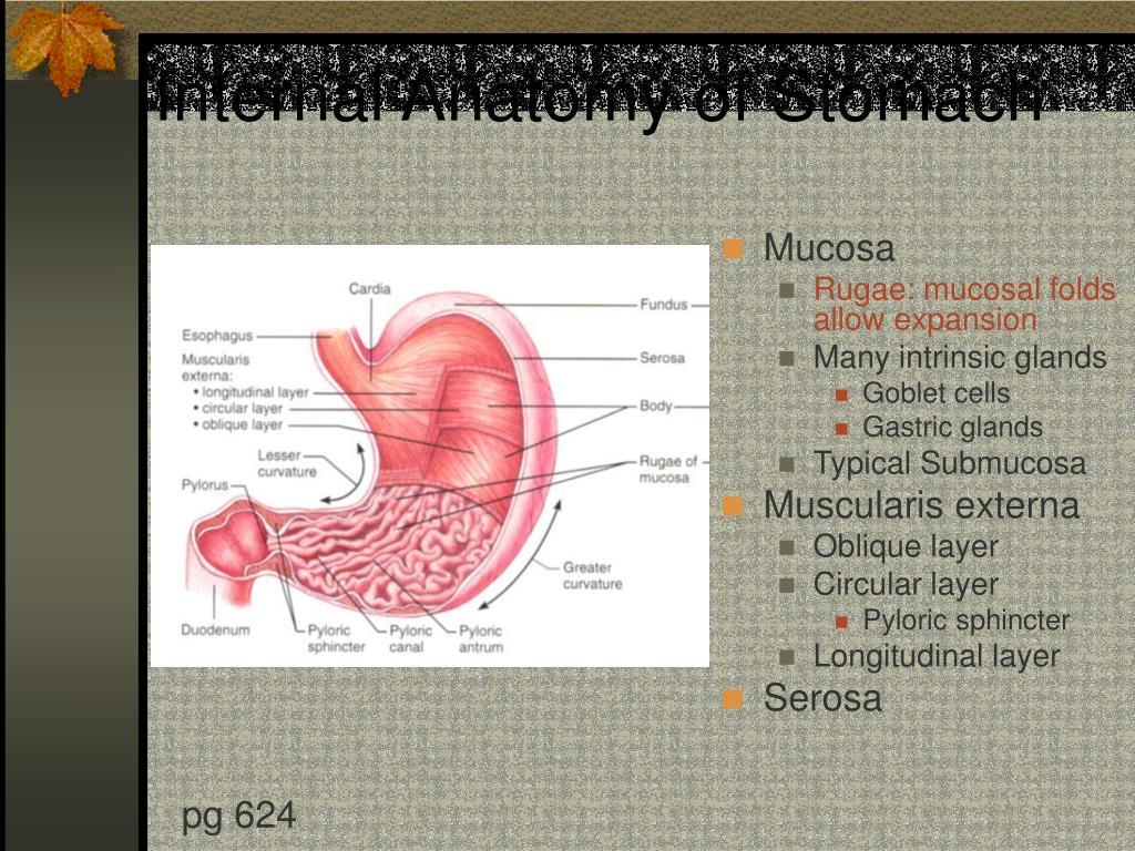Internal Anatomy of Stomach