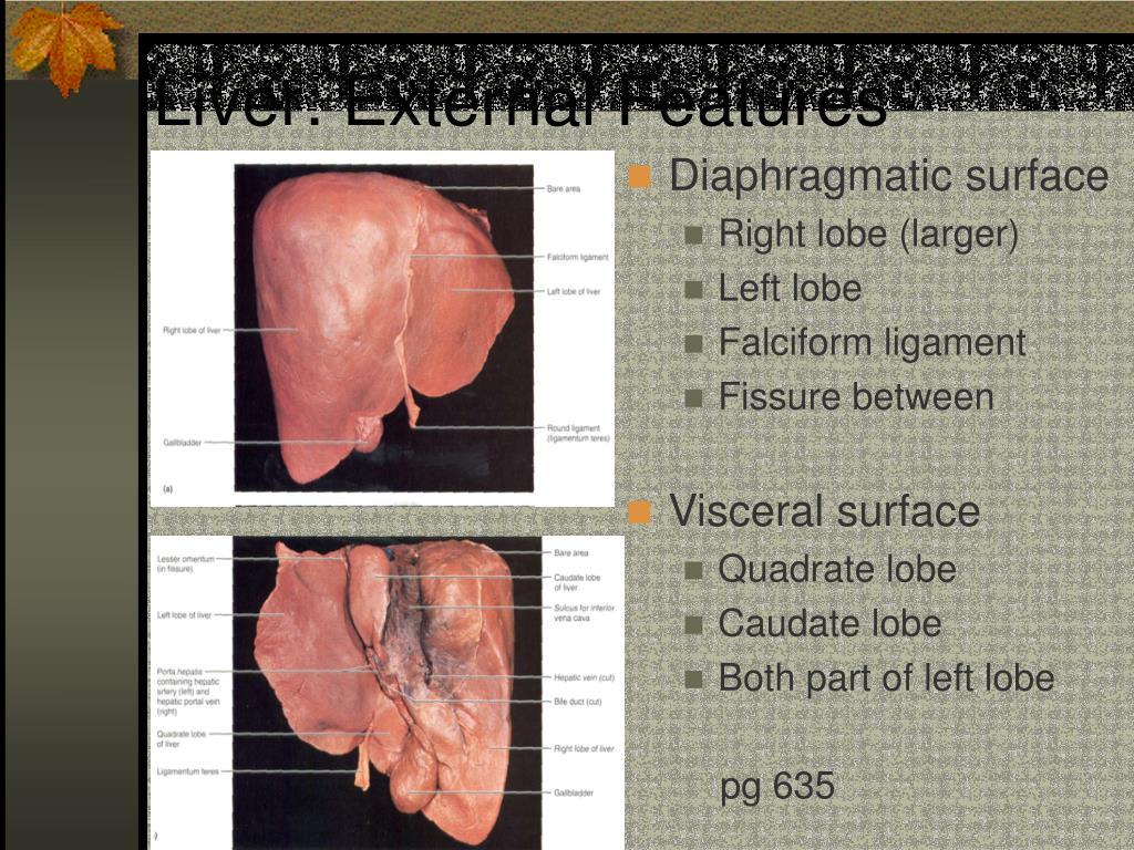 Liver: External Features