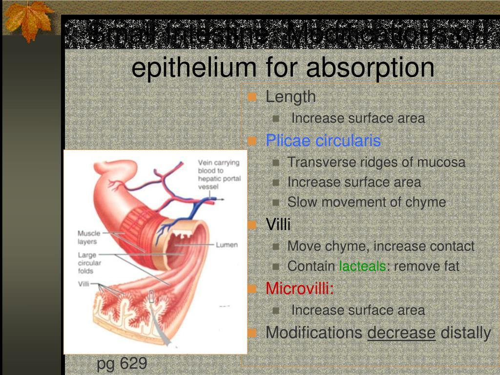Small Intestine: