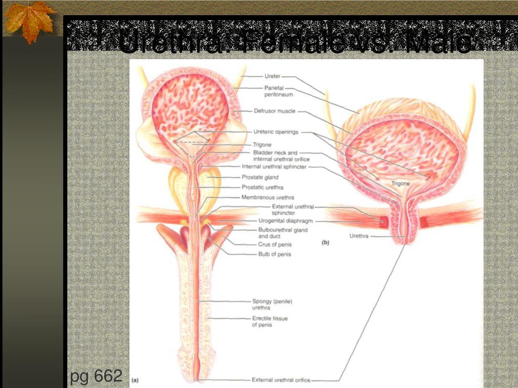 Urethra: Female vs. Male