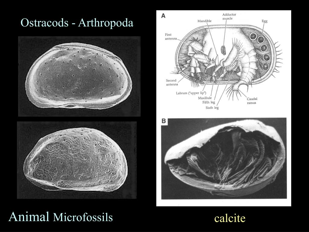 Ostracods - Arthropoda
