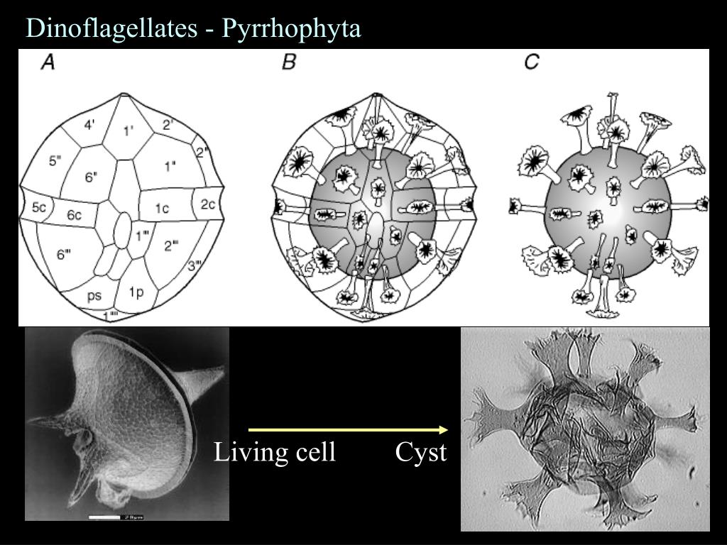 Dinoflagellates - Pyrrhophyta