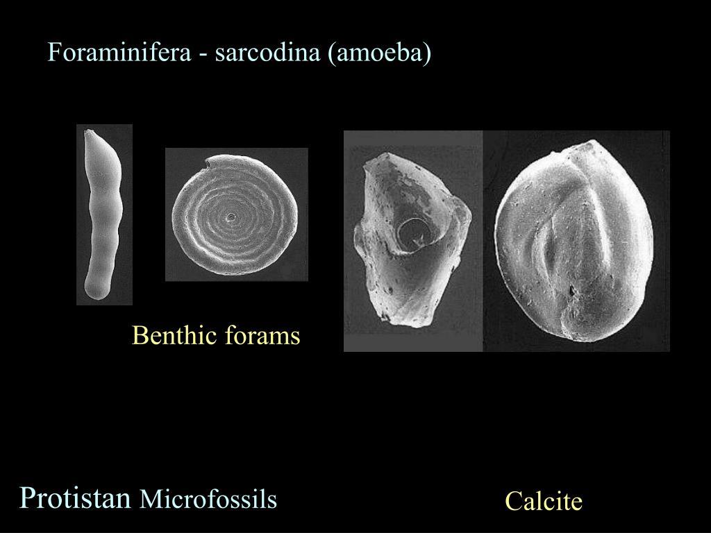 Foraminifera - sarcodina (amoeba)