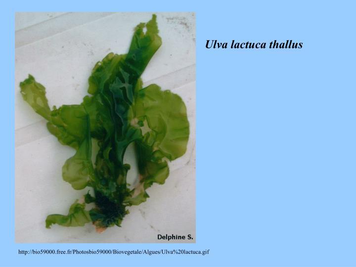 Ulva lactuca thallus