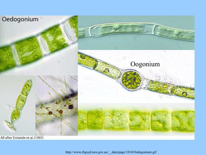 Oogonium