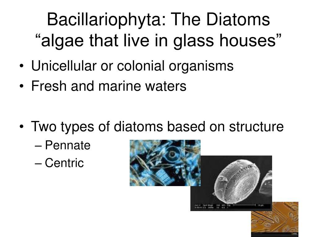 Bacillariophyta: The Diatoms