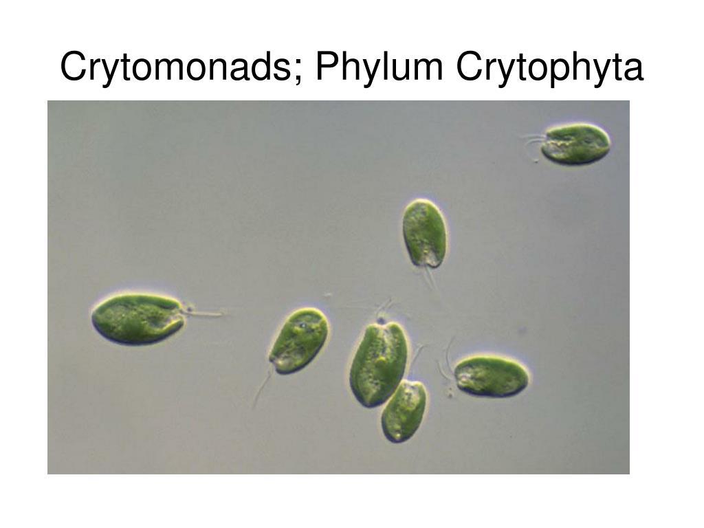 Crytomonads; Phylum Crytophyta