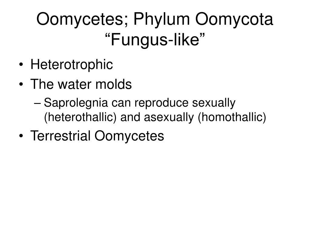 Oomycetes; Phylum Oomycota