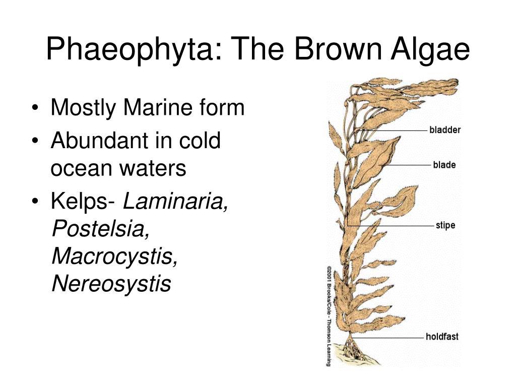 Phaeophyta: The Brown Algae