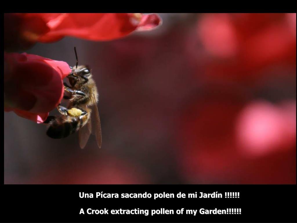 Una Pícara sacando polen de mi Jardín !!!!!!