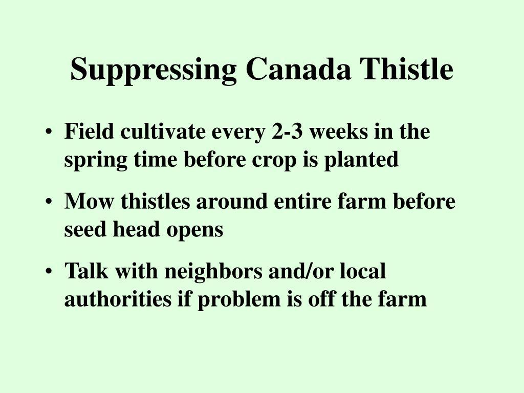 Suppressing Canada Thistle