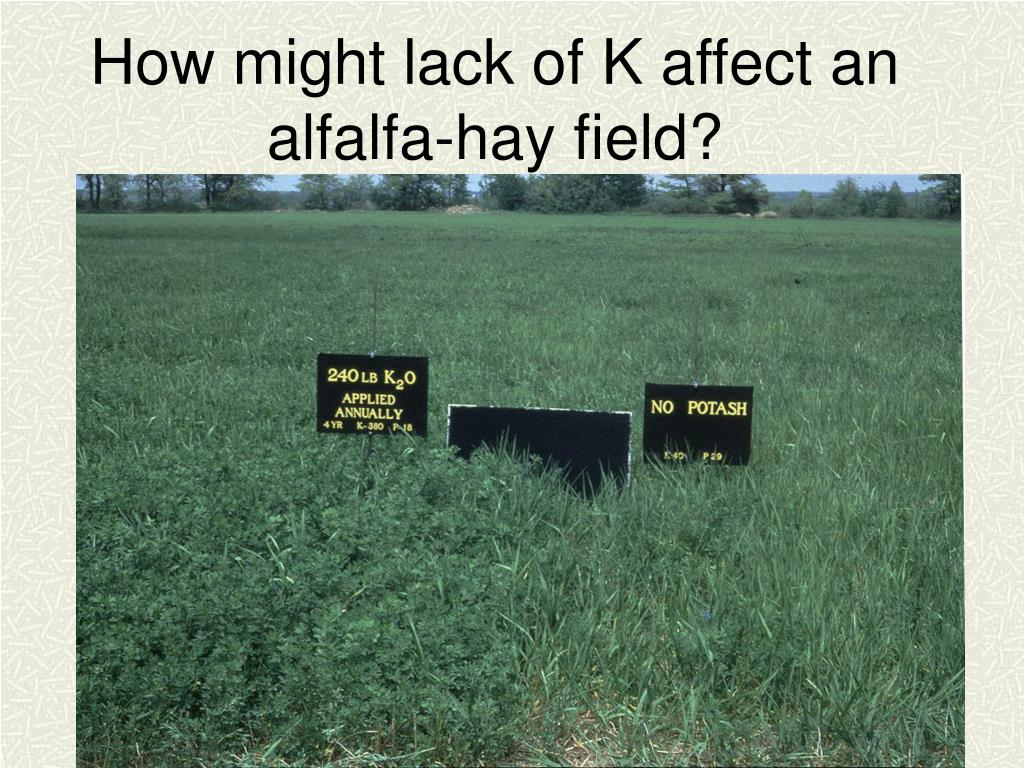 How might lack of K affect an alfalfa-hay field?
