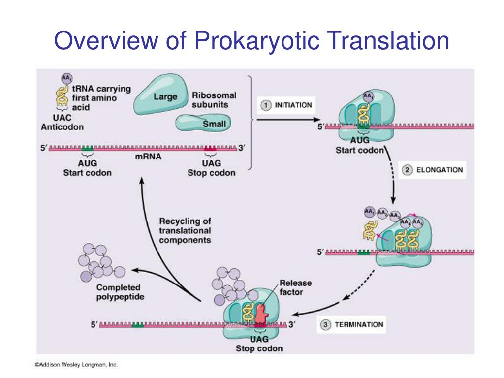Overview of Prokaryotic Translation