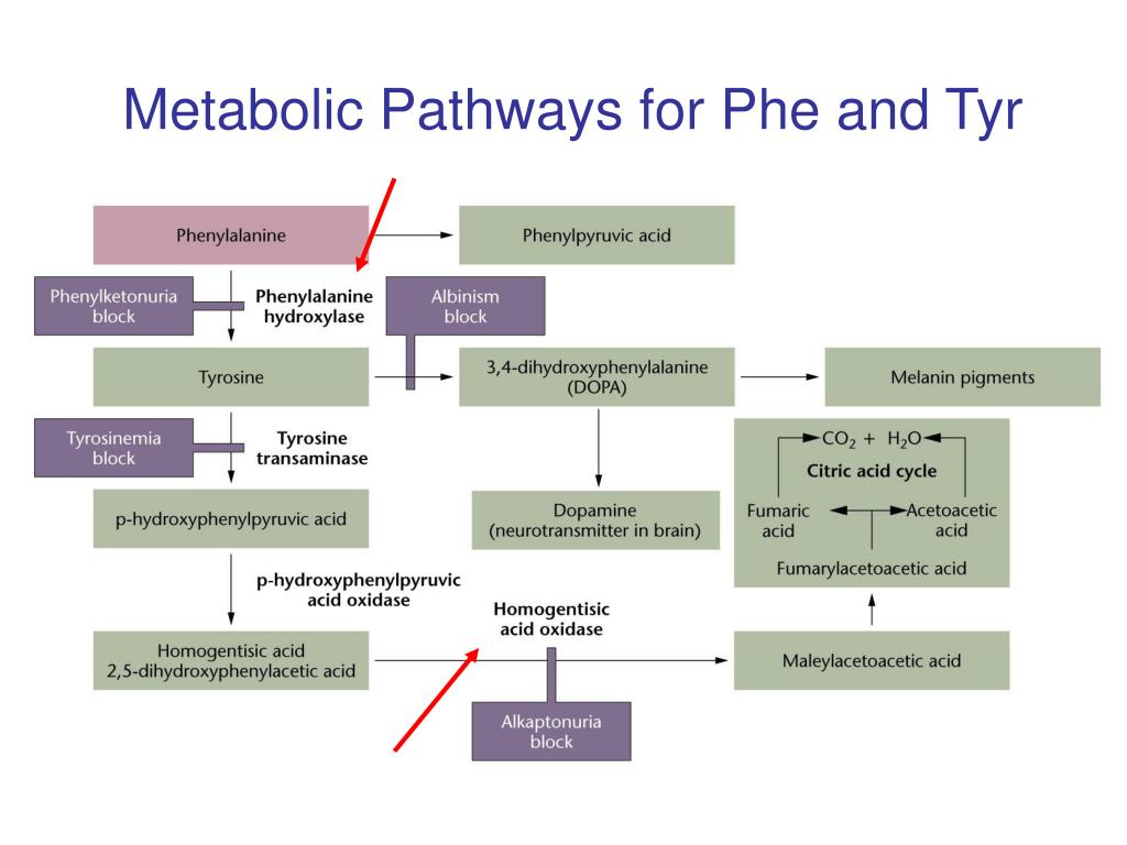 Metabolic Pathways for Phe and Tyr