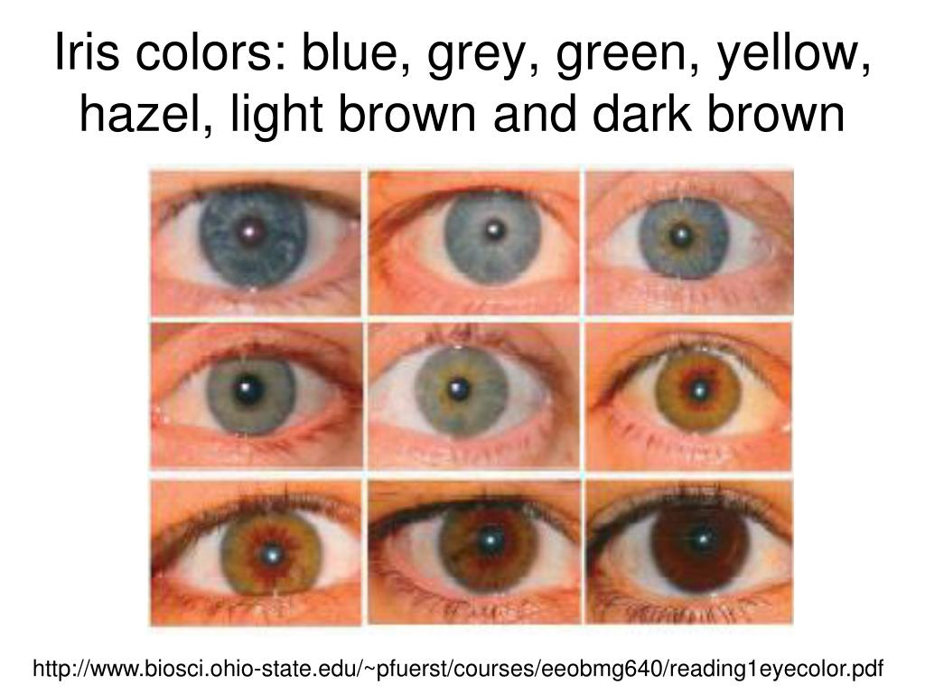 Iris colors: blue, grey, green, yellow, hazel, light brown and dark brown
