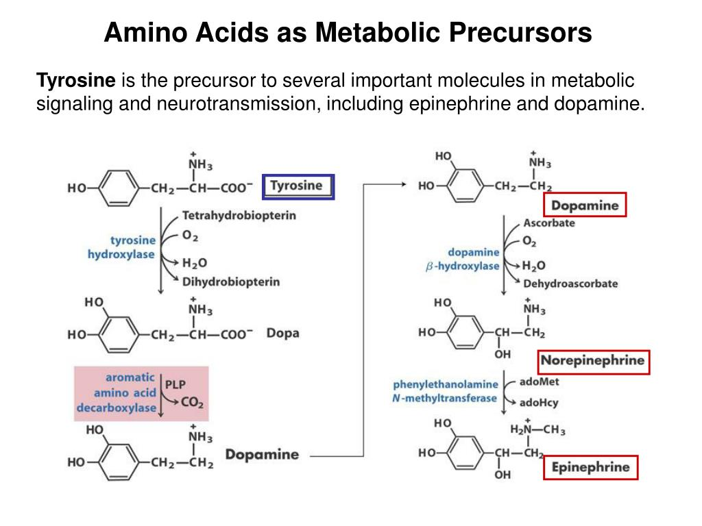 amino acid metabolism Content: 1 introduction to the metabolism of proteins and amino acids 2 amino acid degradation 3 degradation of amino acid carbon skeletons 4 formation of non.