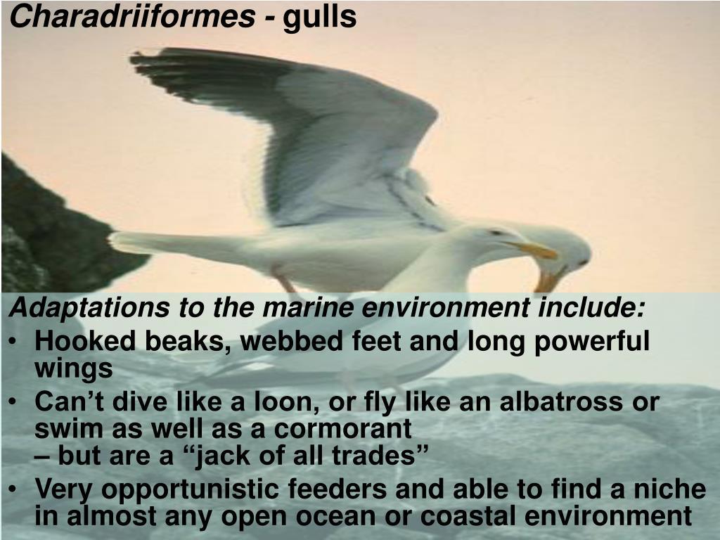 Charadriiformes -