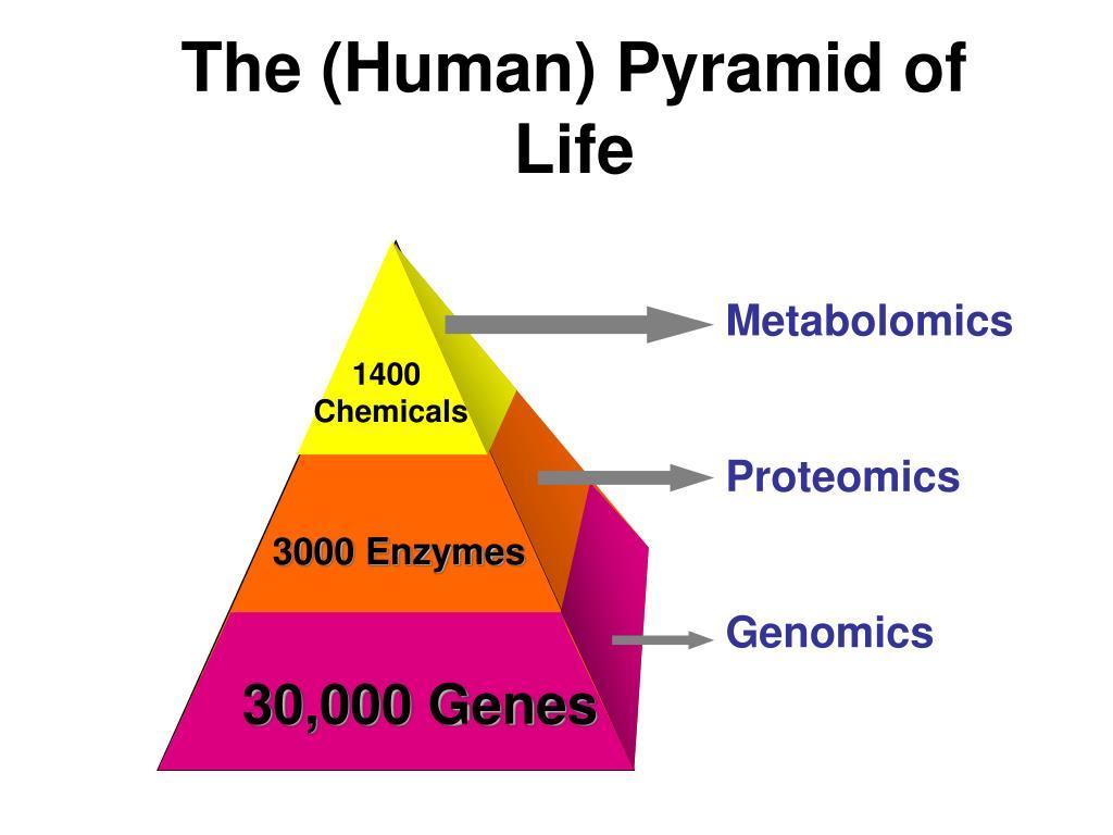 The (Human) Pyramid of Life