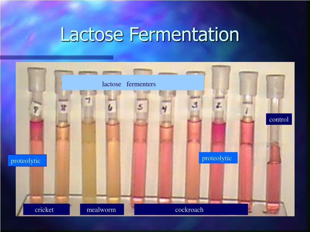 Lactose Fermentation