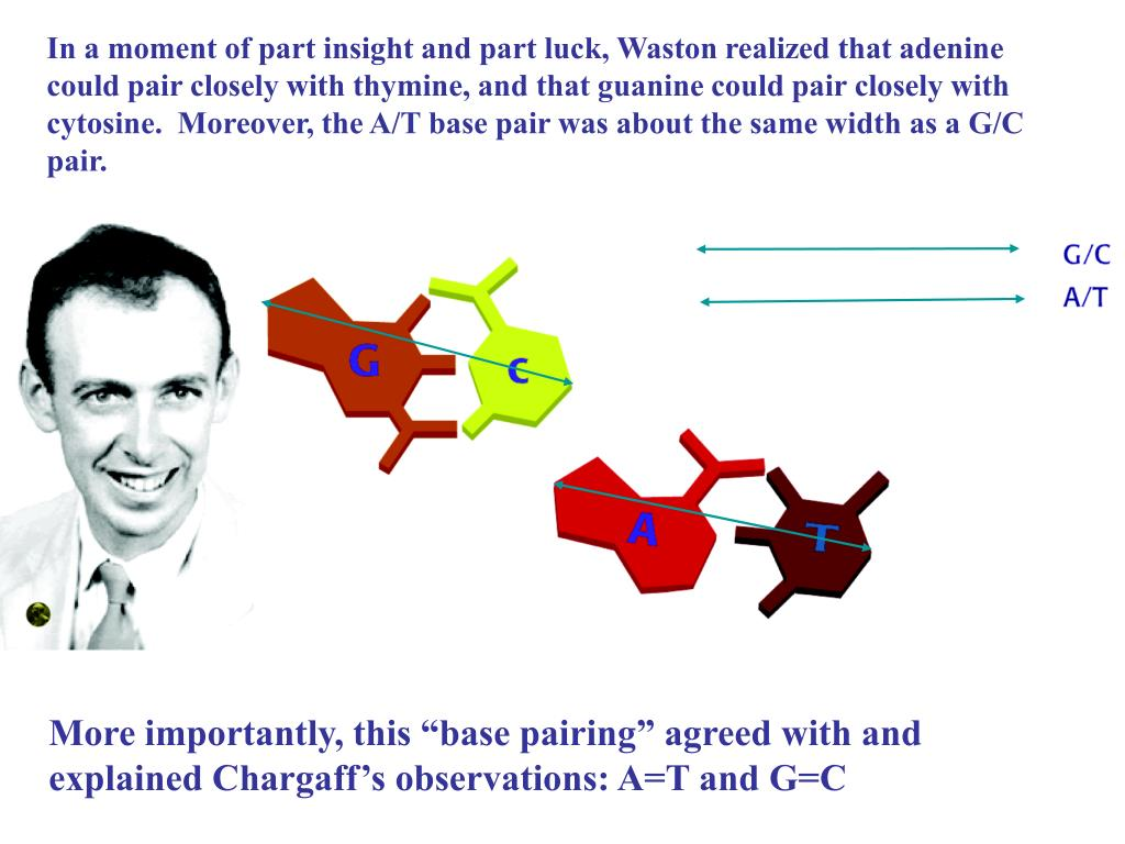 In a moment of part insight and part luck, Waston realized that adenine could pair closely with thymine, and that guanine could pair closely with cytosine.  Moreover, the A/T base pair was about the same width as a G/C pair.