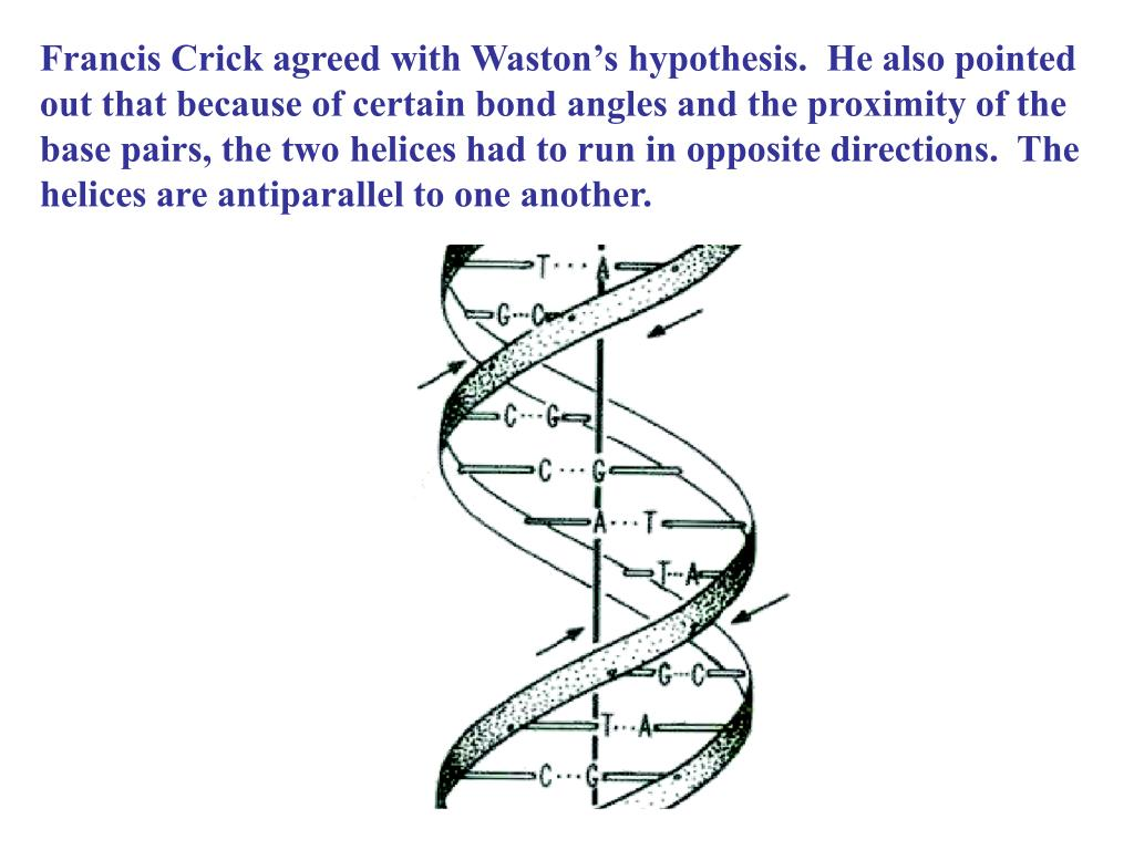 Francis Crick agreed with Waston's hypothesis.  He also pointed out that because of certain bond angles and the proximity of the base pairs, the two helices had to run in opposite directions.  The helices are antiparallel to one another.