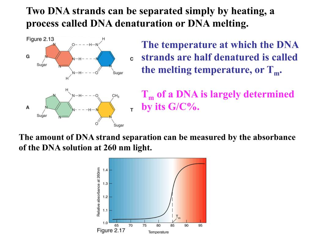 Two DNA strands can be separated simply by heating, a process called DNA denaturation or DNA melting.