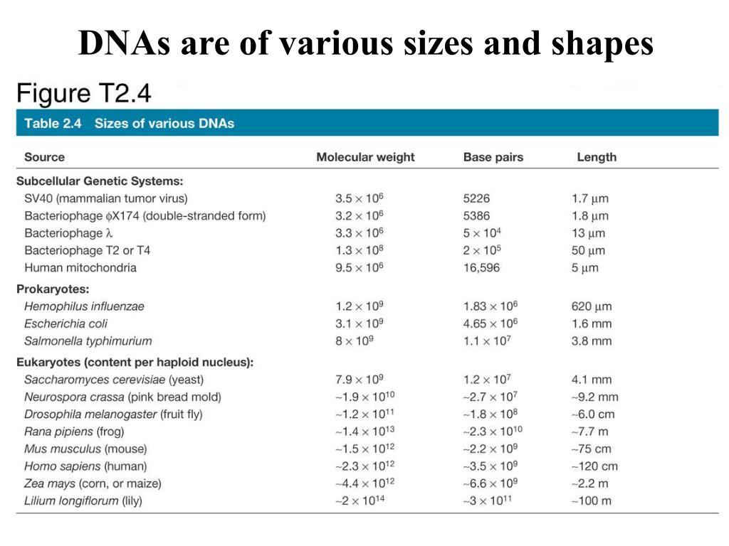 DNAs are of various sizes and shapes