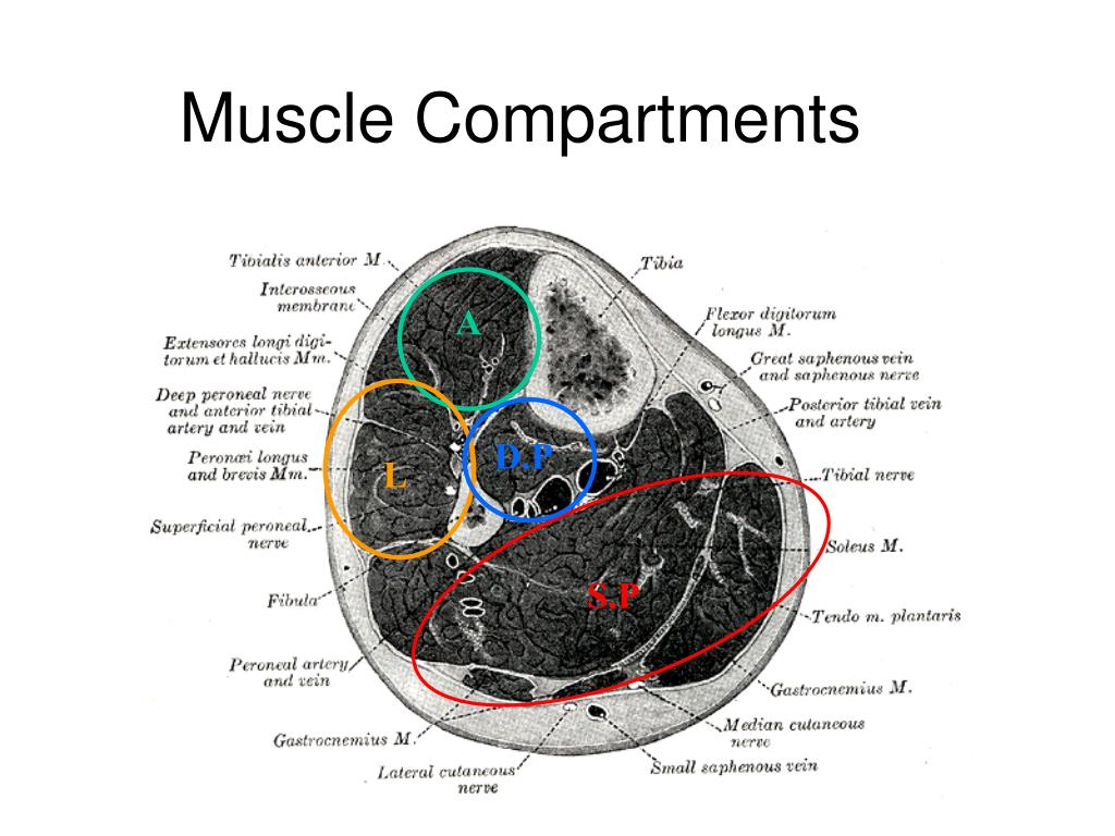 Muscle Compartments