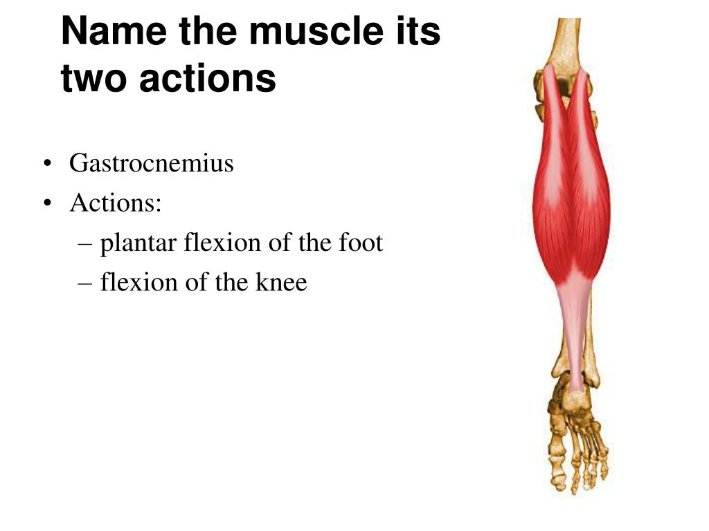 Name the muscle its two actions