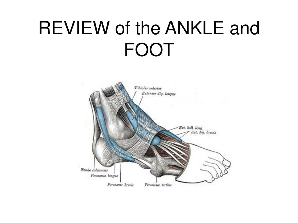 REVIEW of the ANKLE and FOOT