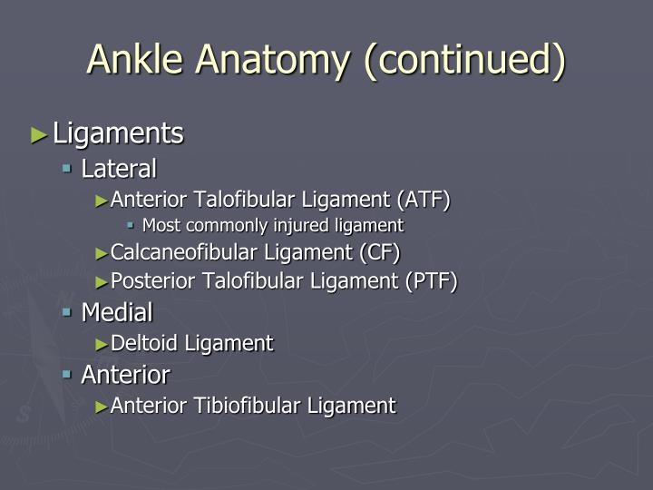 Ankle anatomy continued