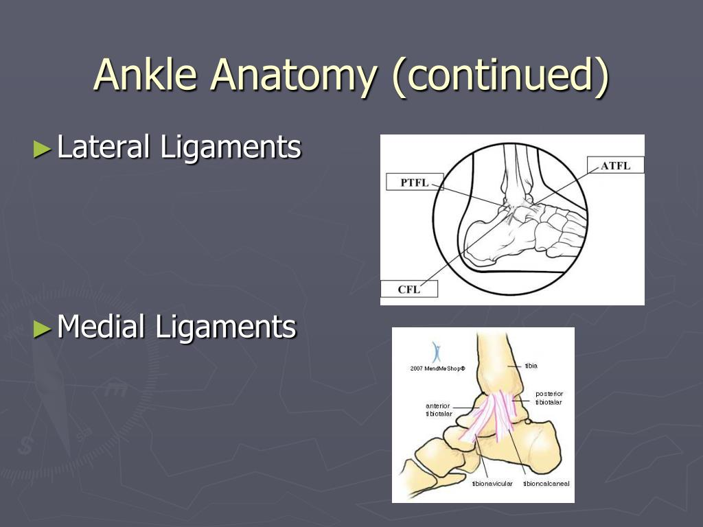 Ankle Anatomy (continued)