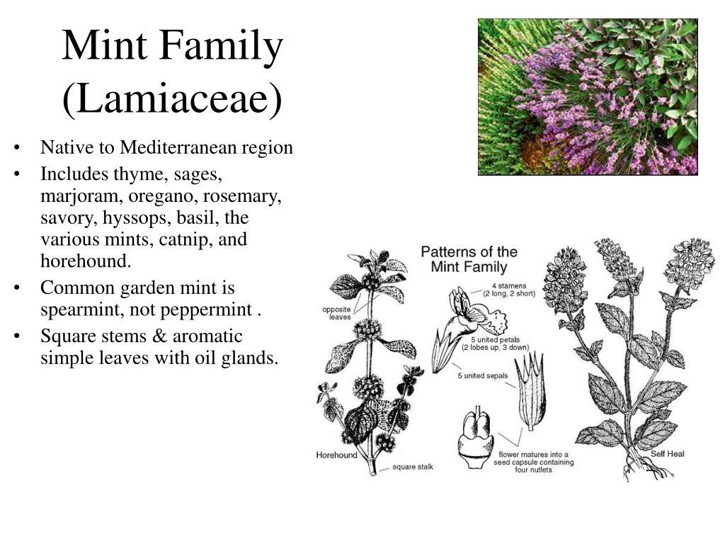 Mint Family (Lamiaceae)