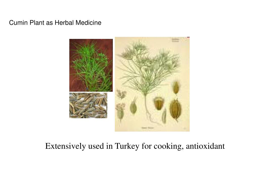 Cumin Plant as Herbal Medicine