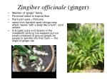 zingiber officinale ginger