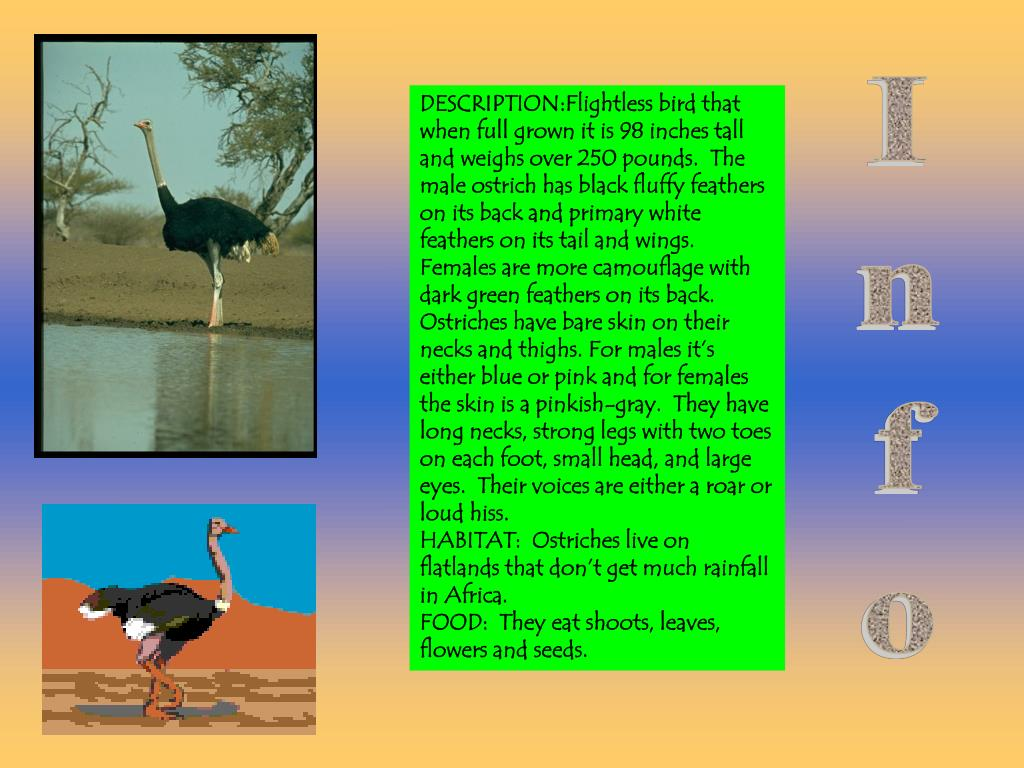 DESCRIPTION:Flightless bird that when full grown it is 98 inches tall and weighs over 250 pounds.  The male ostrich has black fluffy feathers on its back and primary white feathers on its tail and wings.  Females are more camouflage with dark green feathers on its back.  Ostriches have bare skin on their necks and thighs. For males it's either blue or pink and for females the skin is a pinkish-gray.  They have long necks, strong legs with two toes on each foot, small head, and large eyes.  Their voices are either a roar or loud hiss.                              HABITAT:  Ostriches live on flatlands that don't get much rainfall in Africa.                                   FOOD:  They eat shoots, leaves, flowers and seeds.