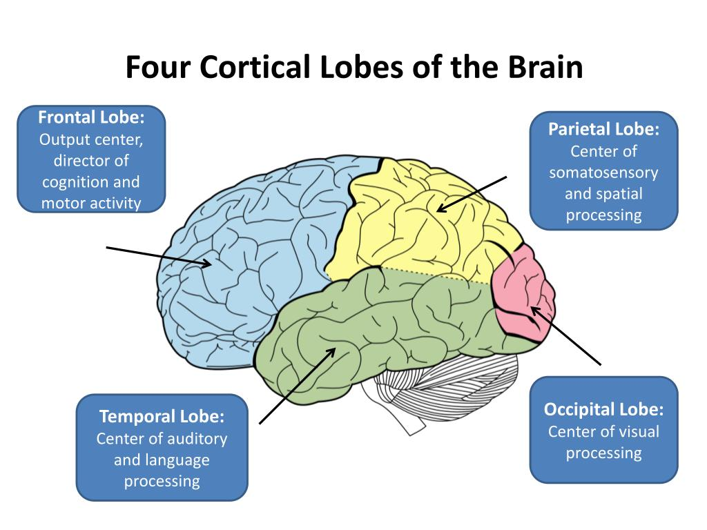 Four Cortical Lobes of the Brain