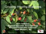 growing healthy brambles