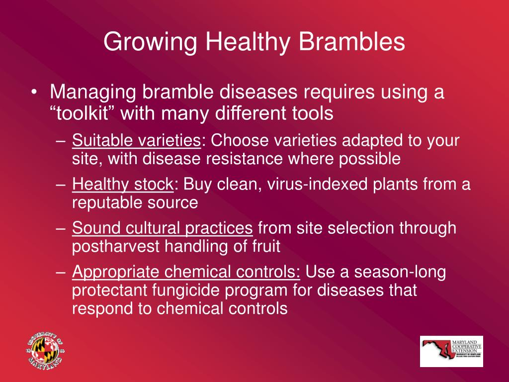 Growing Healthy Brambles