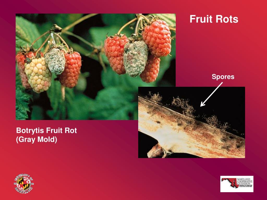 Fruit Rots