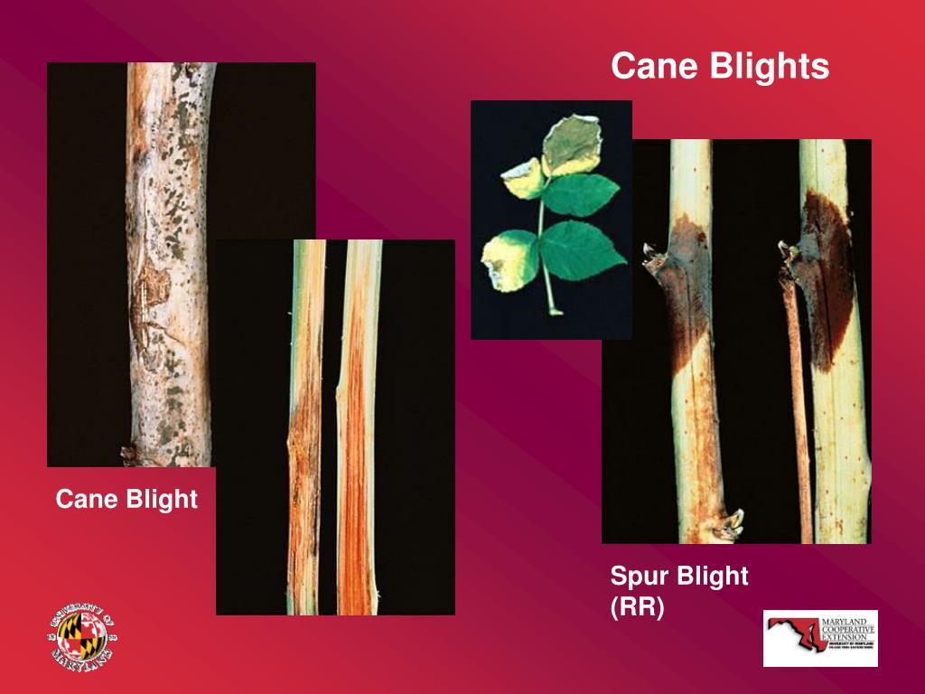 Cane Blights
