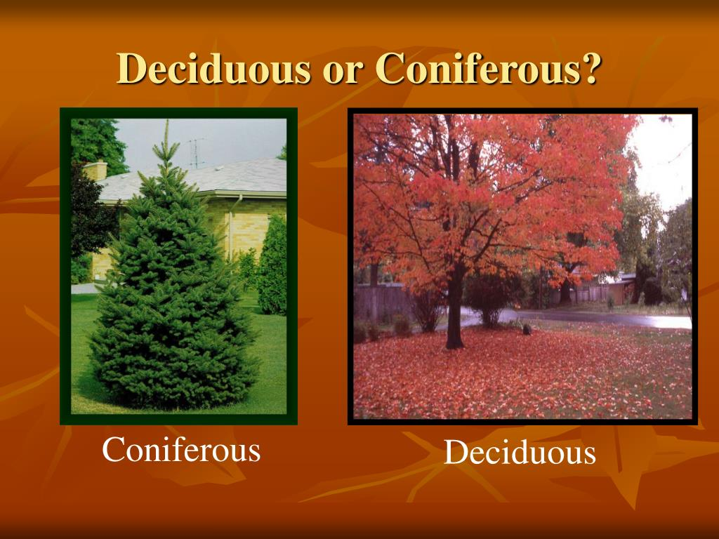 Deciduous or Coniferous?