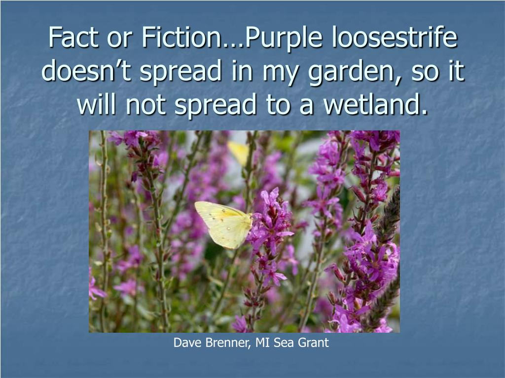 Fact or Fiction…Purple loosestrife doesn't spread in my garden, so it will not spread to a wetland.