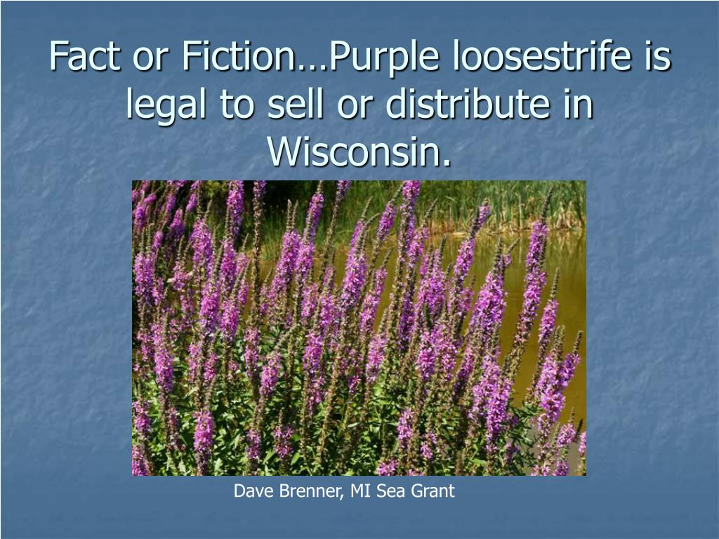 Fact or Fiction…Purple loosestrife is legal to sell or distribute in Wisconsin.