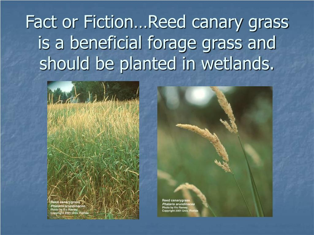 Fact or Fiction…Reed canary grass is a beneficial forage grass and should be planted in wetlands.