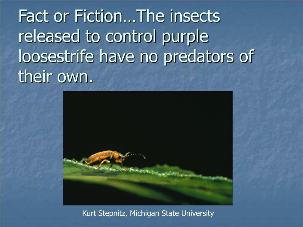 Fact or Fiction…The insects released to control purple loosestrife have no predators of their own.