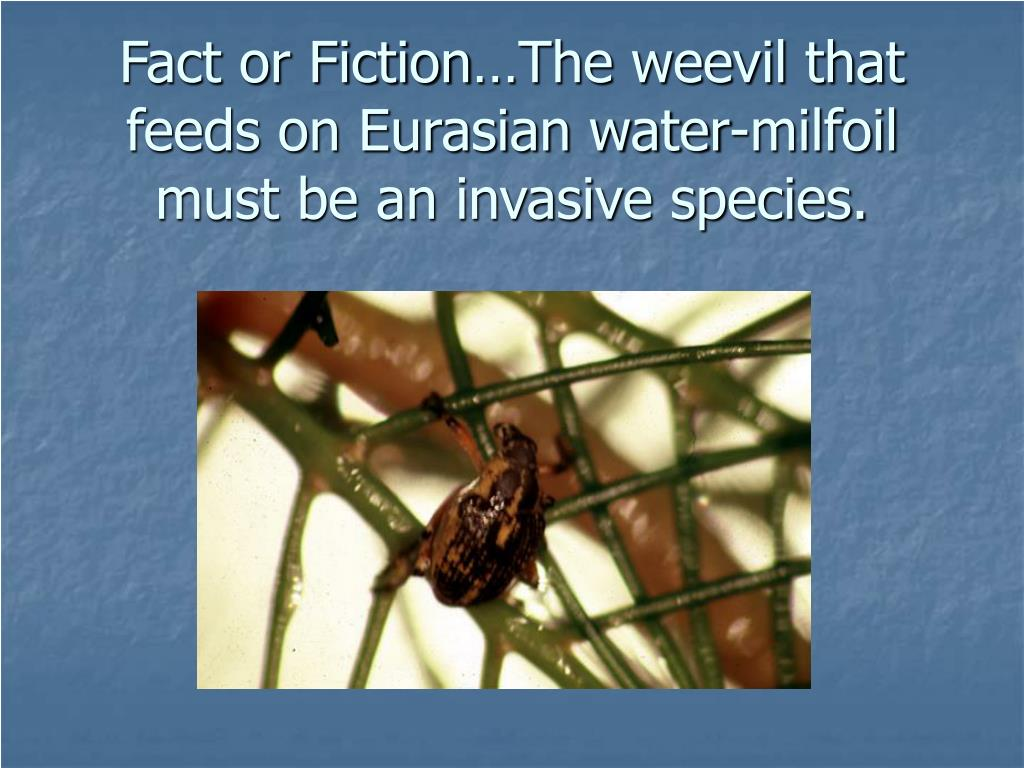 Fact or Fiction…The weevil that feeds on Eurasian water-milfoil must be an invasive species.