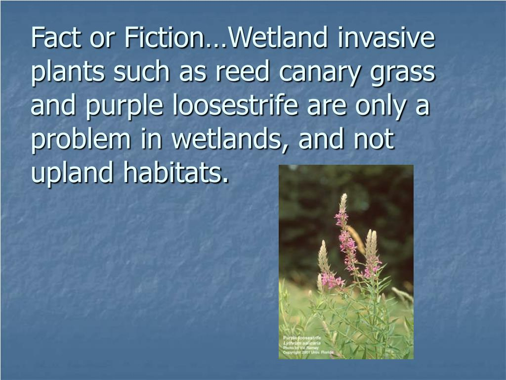 Fact or Fiction…Wetland invasive plants such as reed canary grass and purple loosestrife are only a problem in wetlands, and not upland habitats.