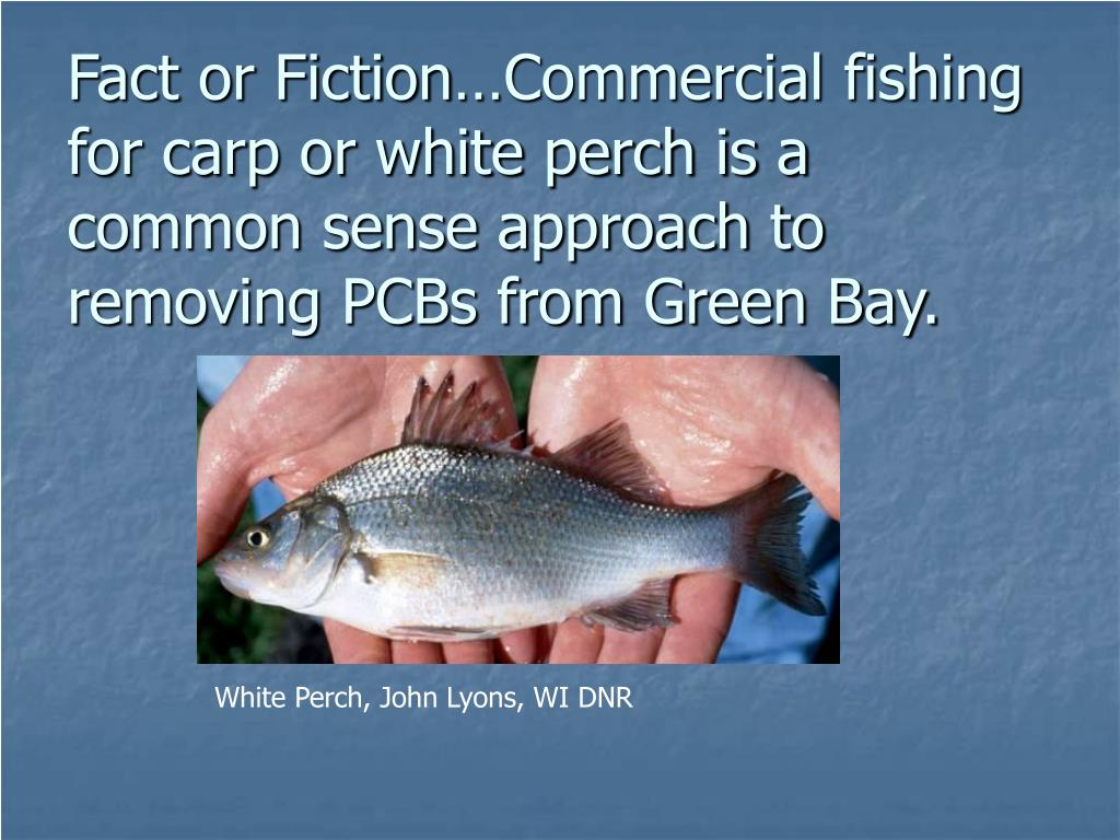 Fact or Fiction…Commercial fishing for carp or white perch is a common sense approach to removing PCBs from Green Bay.
